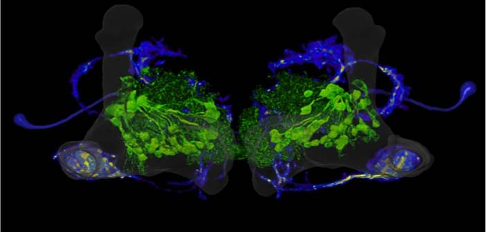 Rewarding (green) and motivating (blue) dopamine neurons both innervate the fly mushroom bodies (grey).