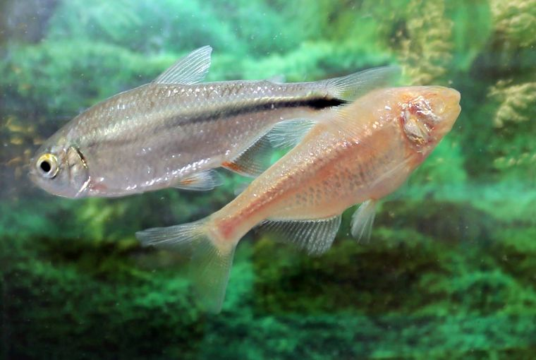 The mexican cavefish astyanax mexicanus photo by colin beesley