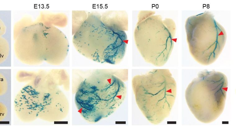A potential strategy identified to improve blood vessel growth after heart attack