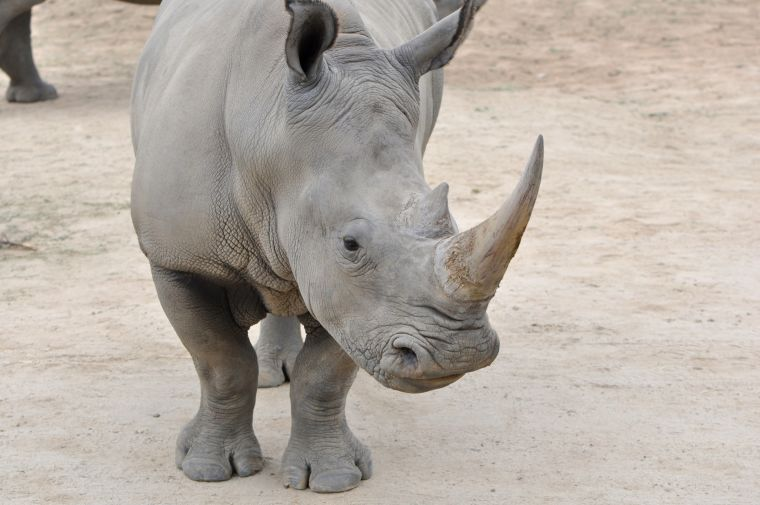 Bringing endangered species back from the brink a technique to produce eggs from ovarian tissue in the lab may offer hope for critically endangered species like the northern white rhino that have passed what is currently considered the point of no return