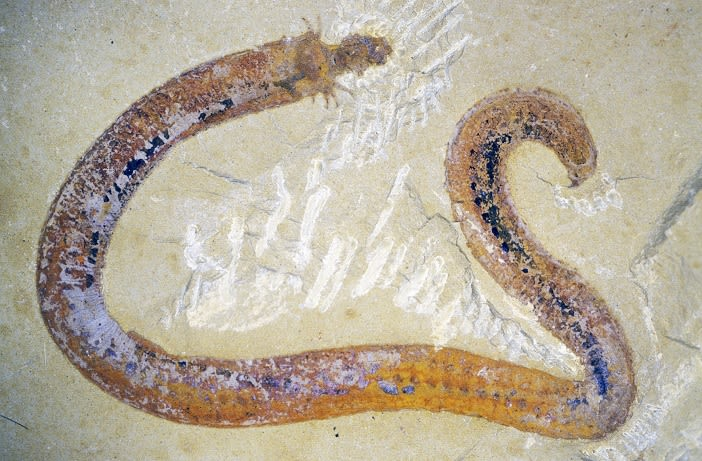 One of the fossils from the Chengjiang Lagerstätte: a nematomorph worm from the Lower Cambrian strata of Mafang in Yunnan Province, China