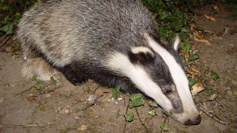 Photo of European Badger