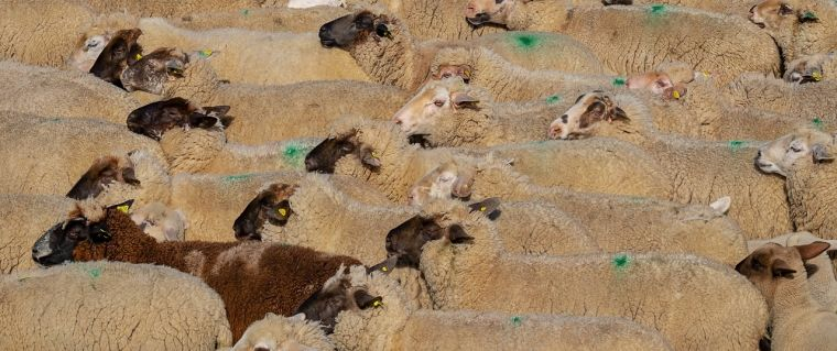 New estimates of the environmental cost of food sheep