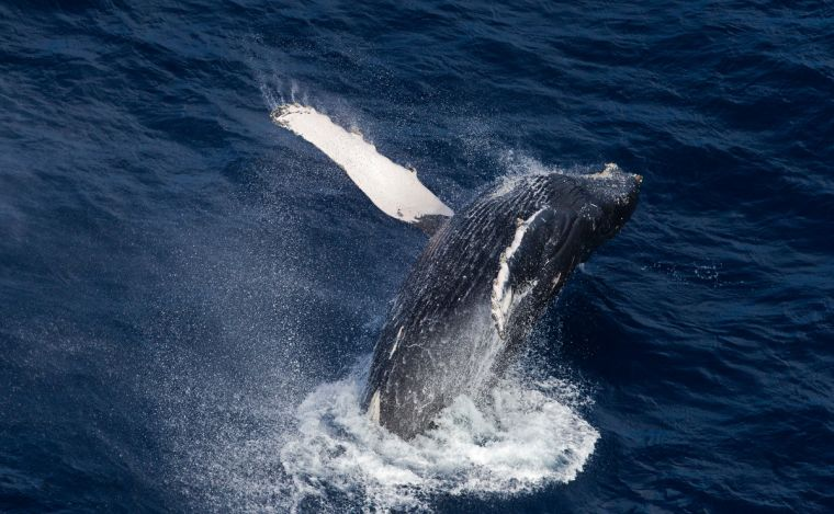 A humpback whale breaking the surface of the sea