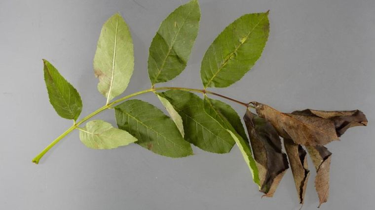 A dying leaf from an ash tree