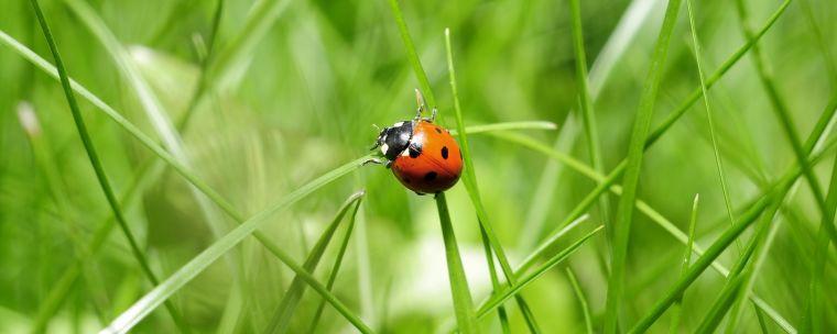 A ladybird on a grass stem