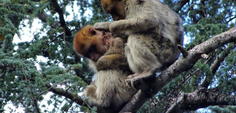 Pipo being cared for by another Barbary Monkey