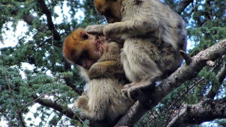 Unprecedented display of concern towards injured monkey offers hope for endangered species