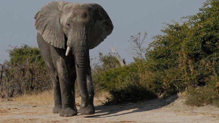 A bull African elephant