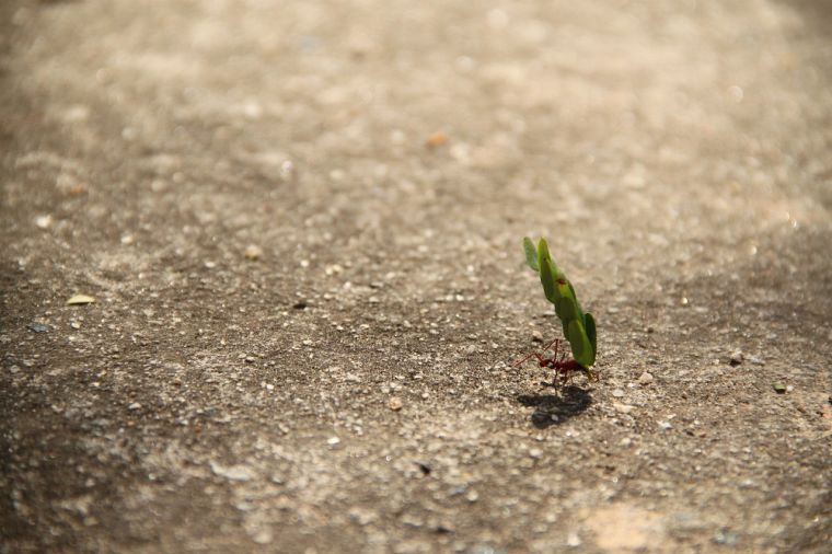 An ant carrying a large leaf