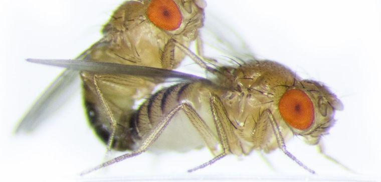 Two fruit flies mating