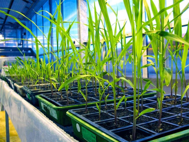 Wheat grown by researchers in the department of Plant Sciences to improve photosynthesis
