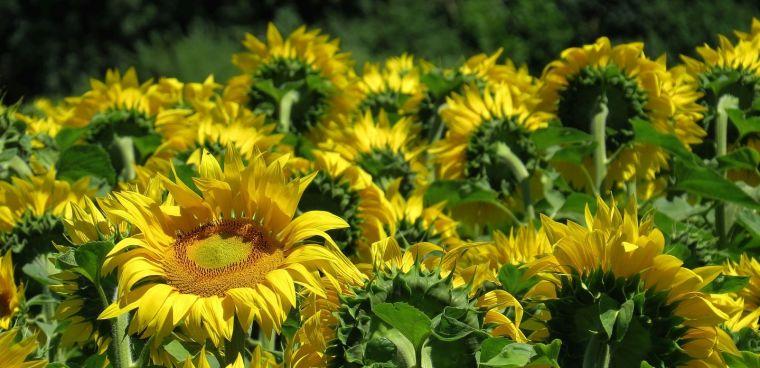 Making sunlight liquid 2013 a brief history of sunflowers