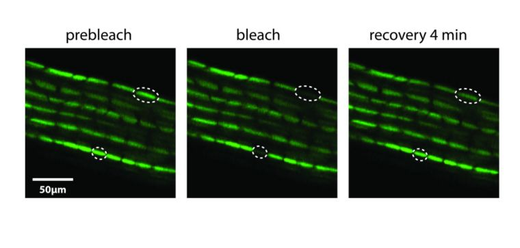 Dye transfer through gap junctions in whole living mouse tendon