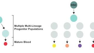 Deciphering the complexity of blood progenitor cells
