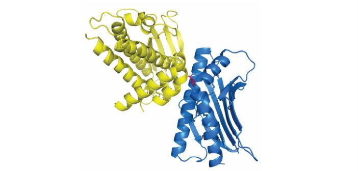 The structure of a complex of the CIDR domain of a PfEMP1 variant (yellow) bound to EPCR (blue). A phenylalanine of the CIDR domain, at the centre of the interface, is shown as pink sticks.