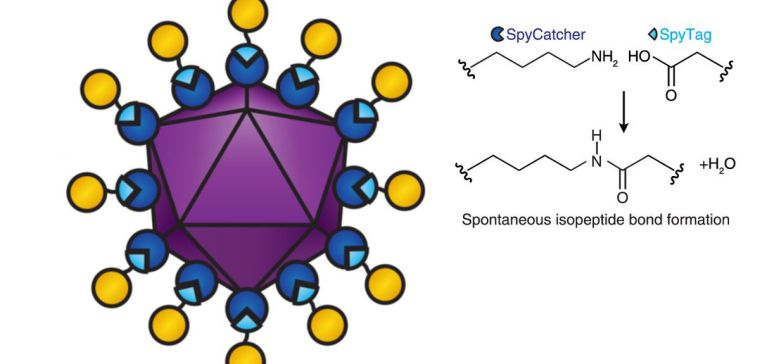 Diagram of a viral vectored vaccine built using the SpyCatcher/ Tag combination. SpyCatcher (dark blue) is fused to the virus-like particle (purple). SpyTag (light blue) is fused to antigens (yellow). When SpyTag forms an isopeptide bond with SpyCatcher (diagram right), the antigens are attached to the virus-like particle.