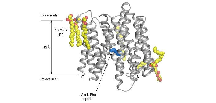 Lipid Cubic Phase crystallisation of bacterial POT family transporters has revealed key insights into the peptide binding site