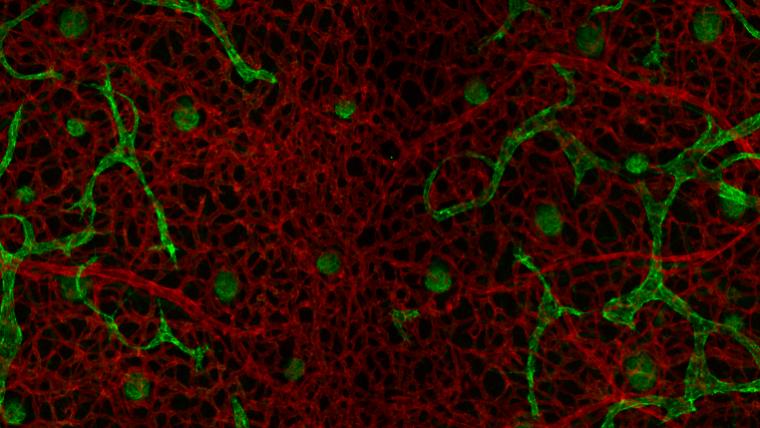 New research advances our understanding of vascular development