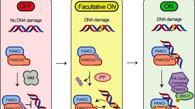 Brake on dna damage repair pathway discovered