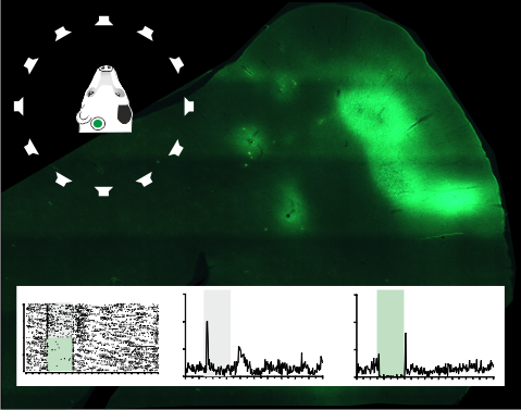 Critical role demonstrated for the auditory cortex in adapting to hearing loss