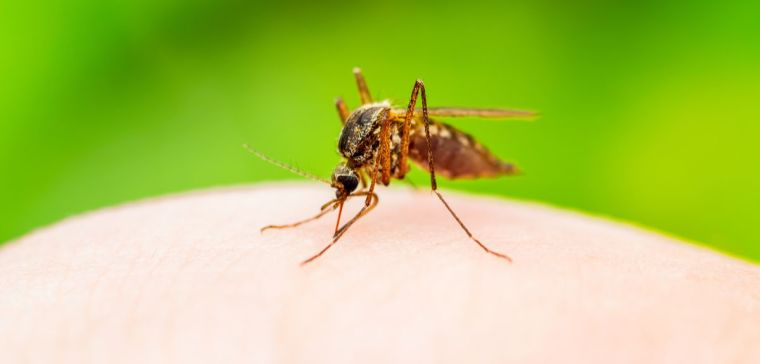 Yellow Fever, Malaria or Zika Virus Infected Mosquito Insect Macro on Green Background