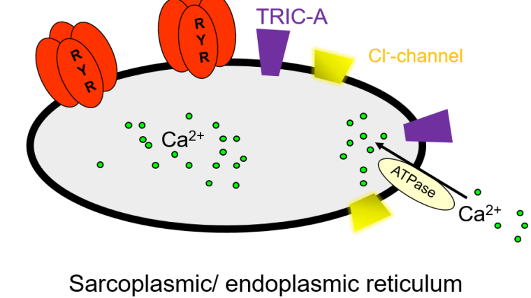 The release of Ca2+ from intracellular stores is of fundamental importance in cell biology, initiating and regulating a wide variety of cellular functions including muscle contraction, fertilisation, cell division and neurotransmitter release. The focus of our laboratory is the study of intracellularly located ion-channels, particularly in regard to cardiac physiology and disease.