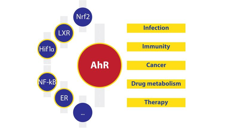 A schematic of the main themes of the Moura Alves research group. The aryl hydrocarbon receptor is positioned centrally, with the key signalling pathways it is associated with surrounding it to the left (Nrf2, LXR, HIF1alpha, NF-kappaB, ER and others) and the context in which these will be studied (infection, immunity, cancer, drug metabolism, therapy) on the right.