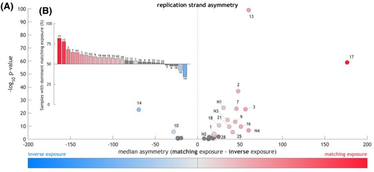 "A data figure showing that that most mutational processes, represented by ""mutational signatures"", are unevenly distributed on the two DNA strands depending on whether they were replicated as the leading or the lagging strand. In Part (a), the difference of matching and inverse exposure is computed for each tumour sample and mutational signature. For each signature, the median value of these differences (in samples exposed to this signature) is plotted against -log10 q-value. In total, 21 out of 29 signatures exhibited significant replication strand asymmetry In part (b), percentage of samples that have higher matching than inverse exposure to the signature denoted above/below each bar. All but 5 samples have more matching than inverse exposure."