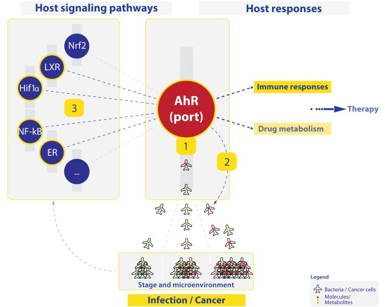 """A schematic showing the main aims of the Moura Alves research group, depicted in the setting of an airport. The AhR might serve as an """"airport"""" that, under different circumstances, deals with the arrival of diverse cargos that need to be identified and directed to their correct destinations. During infection, by changing the expression of different molecules (cargos), bacteria might present to the AhR the cues that the host uses to identify different infection stages. Upon recognition of these cargos, the AhR rapidly mobilises its network and assigns the different protocols or functions to be taken, therefore leading to distinct outcomes/destinations, including different immune responses and bacterial adaptation strategies. In a similar fashion, the AhR might play an important role in regulating host responses to cancer by sensing different tumour metabolic profiles during the course of the disease to sense cancer stage and tumour microenvironment. The main interactions to be studied include the host signalling pathways Nrf2, LXR, HIF1alpha, NF-kappaB, NR and others. We will also investigate the host responses such as immune responses and drug metabolism."""