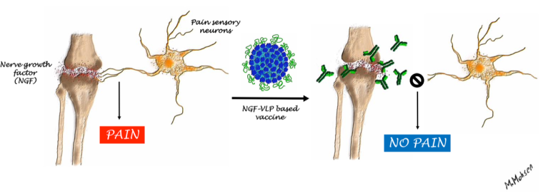 Nerve growth factor (NGF) has been identified as a major mediator of chronic pain and a potential therapeutic target to provide relief from arthritic pain refractory to alternative treatments. © M. Mohsen, University of Bern
