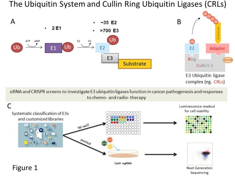 Cell cycle and ubiquitin signalling 1.jpg