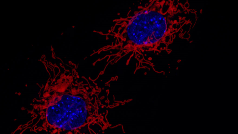 Fluorescent microscopy image of the mitochondria (red) and cell nucleus (blue) of two MEF cells. The mitochondria were stained with a DsRed derivative that localises to the mitochondrial matrix, and the nucleus was stained with DAPI. By Institute of Molecular Medicine I, University of Düsseldorf - Own work, CC BY 4.0, https://commons.wikimedia.org/w/index.php?curid=67134066