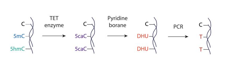 Overview of the TAPS chemical biology method for bisulphite-free, base-resolution, and direct sequencing of 5mC and 5hmC. Ten-eleven translocation (TET) enzyme oxidation of 5mC and 5hmC to 5-carboxylcytosine (5caC) is followed by pyridine borane reduction of 5caC to dihydrouracil (DHU). Subsequent PCR converts DHU to thymine, enabling a C-to-T transition of 5mC and 5hmC. TAPS detects 5mC and 5hmC directly without affecting unmodified cytosines.