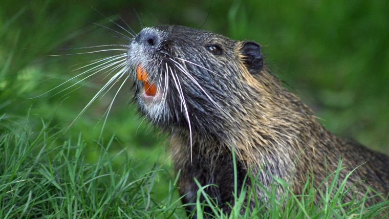 A beaver. The beavers, who are best placed to deliver sustainable results, are left to make positive changes in the landscape.