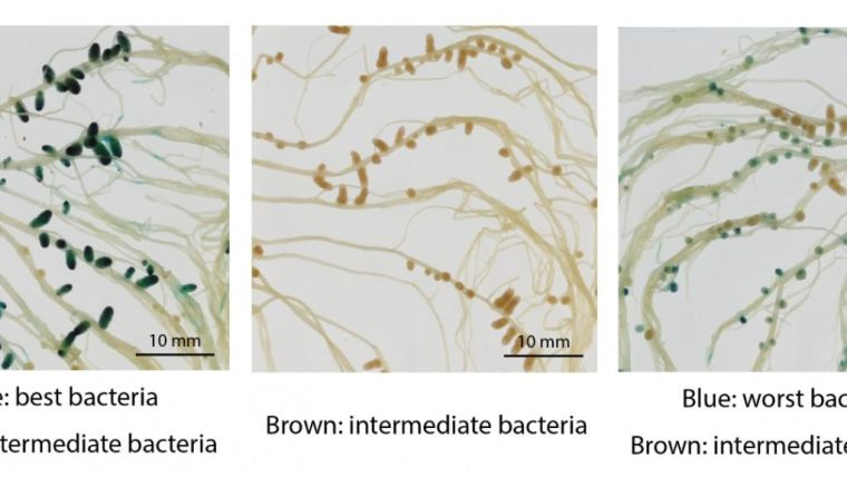 The pea plant root systems, with the nodules that the bacteria live inside showing the size of nodules when different combinations of bacteria are available to the plant.