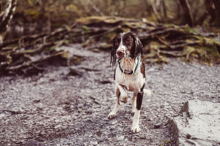 Wet brown and white spaniel standing outside in nature with front paw raised