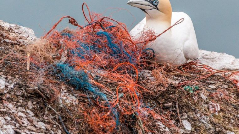 A gannet on a rock next to a tangle of fishing net