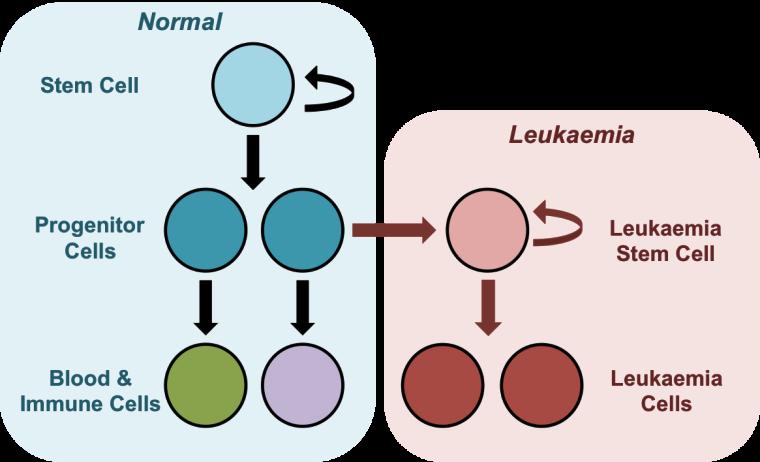 Leukaemia cell development chart