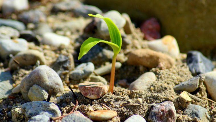 A small shoot growing among stones