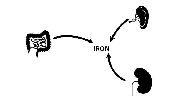 Three organs - the gut, the spleen and the kidney - process and send iron back into the body
