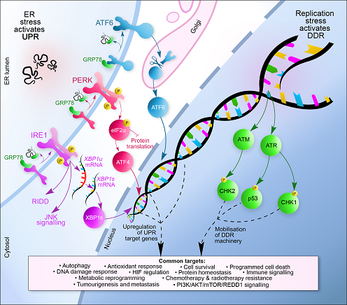 The hammond group are working at the interface of the hypoxia induced unfolded protein and DNA damage responses (UPR and DDR respectively). They have recently described the induction of the DNA/RNA helicase Senataxin by the PERK-mediated arm of the UPR in hypoxic conditions (Ramchandran, Ma et al., submitted manuscript). This image highlights that both the UPR and DDR are induced with the same oxygen-dependency in hypoxia conditions (Bolland, Ma et al., Biochem Soc Trans in press 2021)