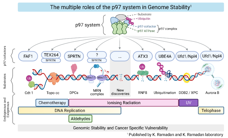 Figure 1: The multiple roles of the p97 system on chromatin. This cartoon summarises all the discoveries of our laboratory in the field of p97-dependent chromatin degradation and proteolysis. The p97 system is composed of ATPase p97 and its cofactors (so far 40 known proteins, but this list is growing). p97-cofactors contain p97-Binding Domains and majority of them also contain Ubiquitin Binding Domains. Thus, p97-cofactors bridge the ATPase p97 to a specific, mostly ubiquitinated, substrate. Once recruited to a specific substrate on chromatin, p97 employs its ATPase activity to remodel - unfold and/or extract - the substrate. Finally, the remodelled substrate is removed from chromatin and degraded or recycled. To date, it is not known how many different p97 complexes exist and what are their substrates. Importantly, as p97 is ATPase and some of the p97-cofactors possess enzymatic activities (such as the E3-ubiquitin ligase activity, deubiquitinating activity, or protease activity), the p97 system is druggable at various levels, representing therefore endless opportunities for cancer therapy