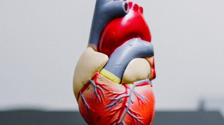 Anatomical figure highlighting functions of the human heart