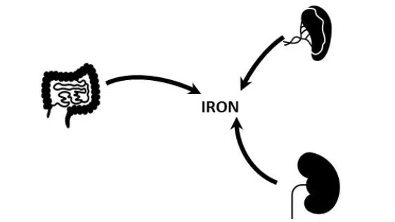 Illustration showing iron reabsorption