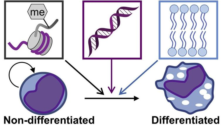 The process of maturation from non-differentiated self-renewing cells to differentiated cells can be promoted by targeting histone methylation and the pathways involved in purine and fatty acid metabolism.