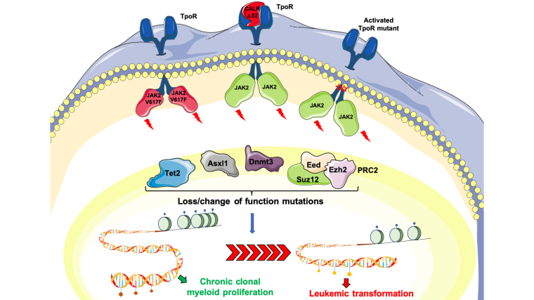 Constantinescu group | Signalling, chromatin, haematopoiesis and cancer