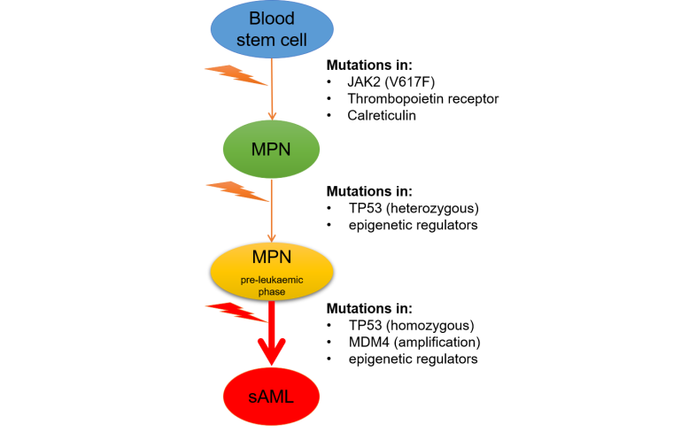 Figure 3. Progression of myeloproliferative neoplasms (MPNs). Mutations in JAK2, the thrombopoietin receptor or calreticulin in blood stem cells result in MPNs. Heterozygous TP53 mutations and mutations in epigenetic regulators cause MPNs to enter the pre-leukaemic phase. Progression to secondary acute myeloid leukemia (sAML) involves further mutations or defective function of the TP53 pathway (such as TP53 homozygous mutations or MDM4 amplification) in combination with mutations in epigenetic regulators and/or splicing factors (not shown). sAML is different from de novo AML with respect to mutational and gene expression profiles. The chromatin states of MPN, MPN pre-leukaemic cells and sAML blasts are not known.