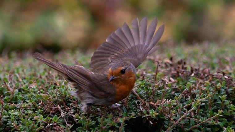 A robin taking flight