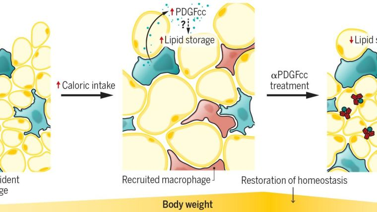 Adipose tissue-resident macrophages control lipid storage through production of platelet-derived growth factor (PDGFcc), which induces lipid retention in white adipose tissue adipocytes in a paracrine manner, although the precise mechanism is unclear. Recruited macrophages are responsible for the inammation that characterizes obese adipose tissue. Treatment with PDGFcc antibodies restores homeostasis, and reduces lipid storage and body weight, redirecting excess lipids mostly to thermogenesis.